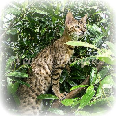 Bengal Kittens For Sale Swindon