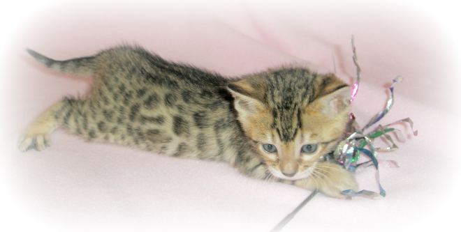 Bengal kittens for sale | Bengal Cat Breeder