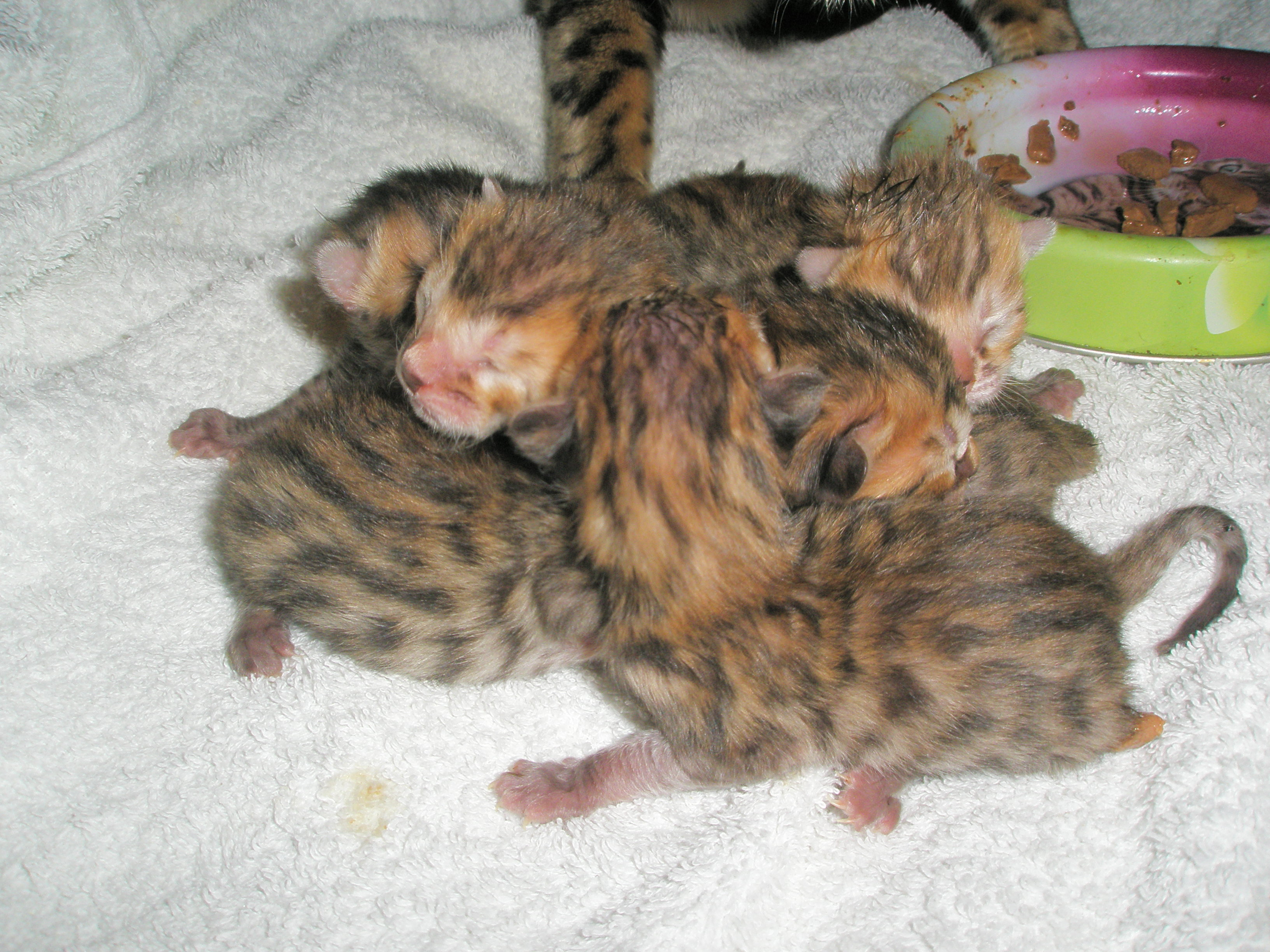 Bengal Kittens For Sale Blog