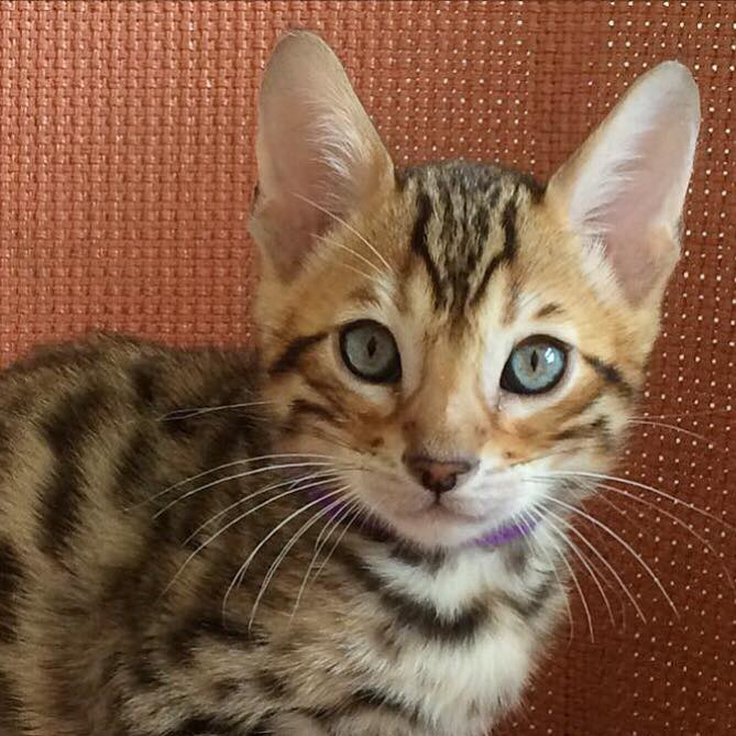 Bengal Kittens For Sale London