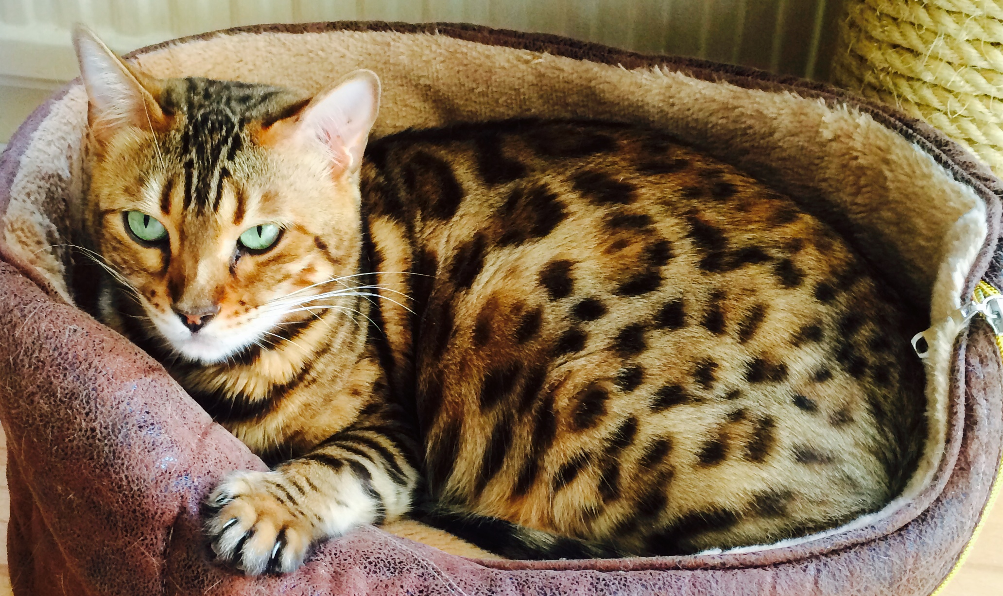 Bengal cats for sale in uk – Popular breeds of cats photo blog