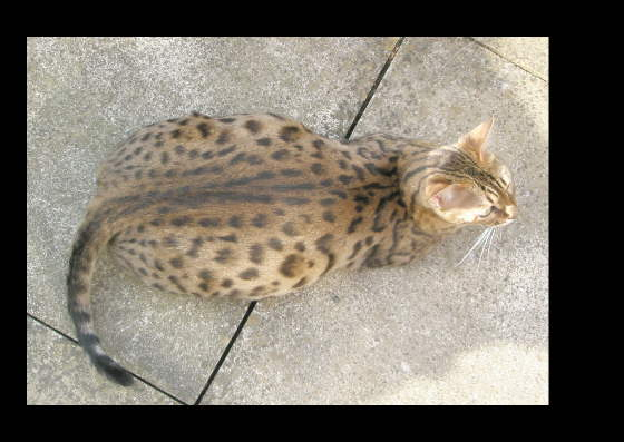 How long are bengal cats pregnant for