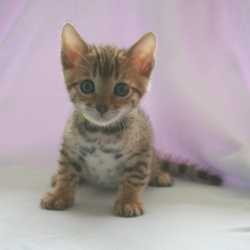 Bengal kittens for sale 2012