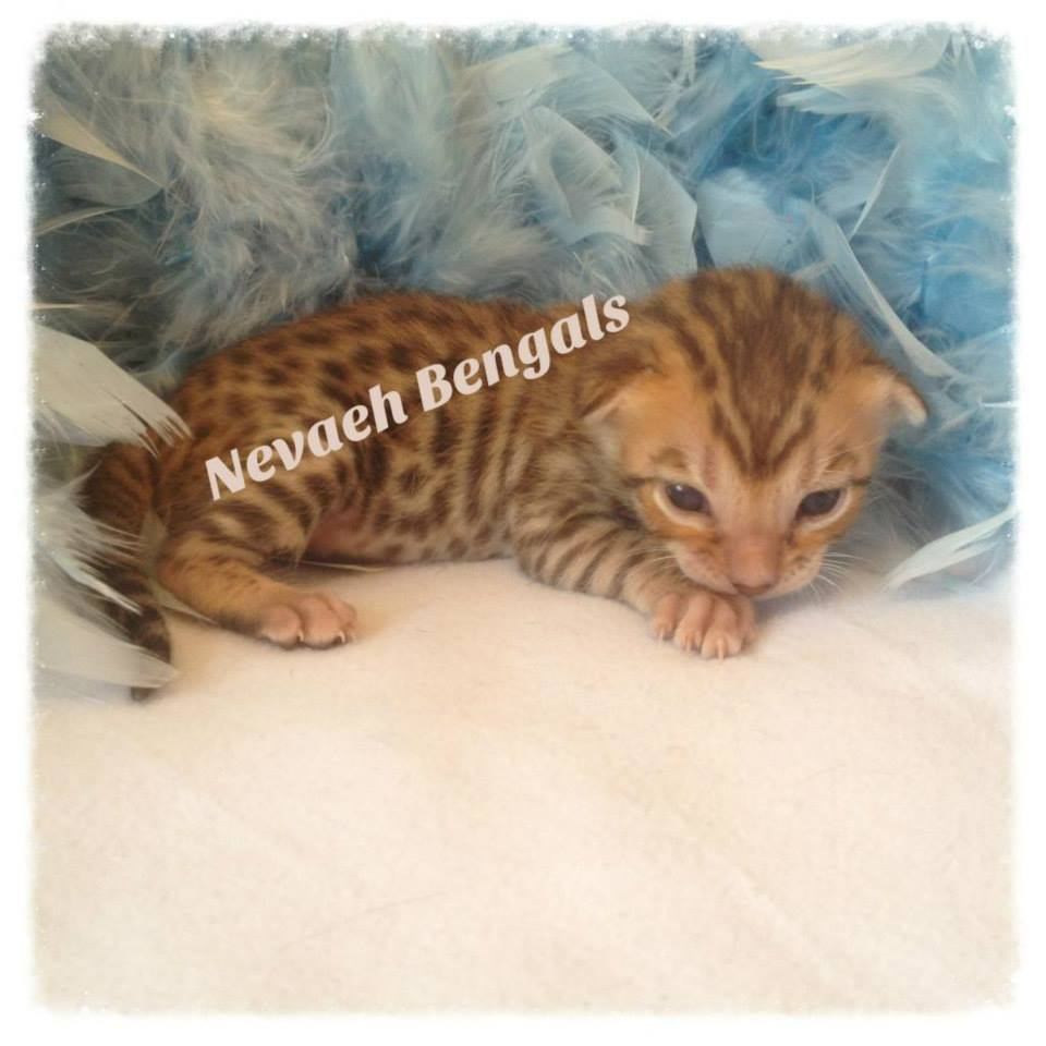 Bengal Kittens For Sale Register Sorted By Location | Tattoo Design ...