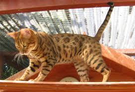 Kittens Devon