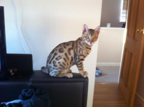 Bengal kittens for sale UK